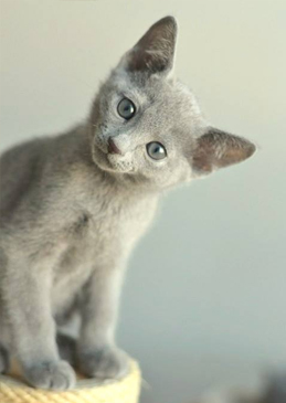 russianblue_male1