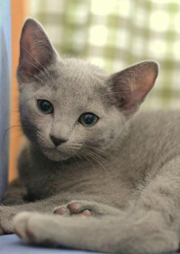 russianblue_male2